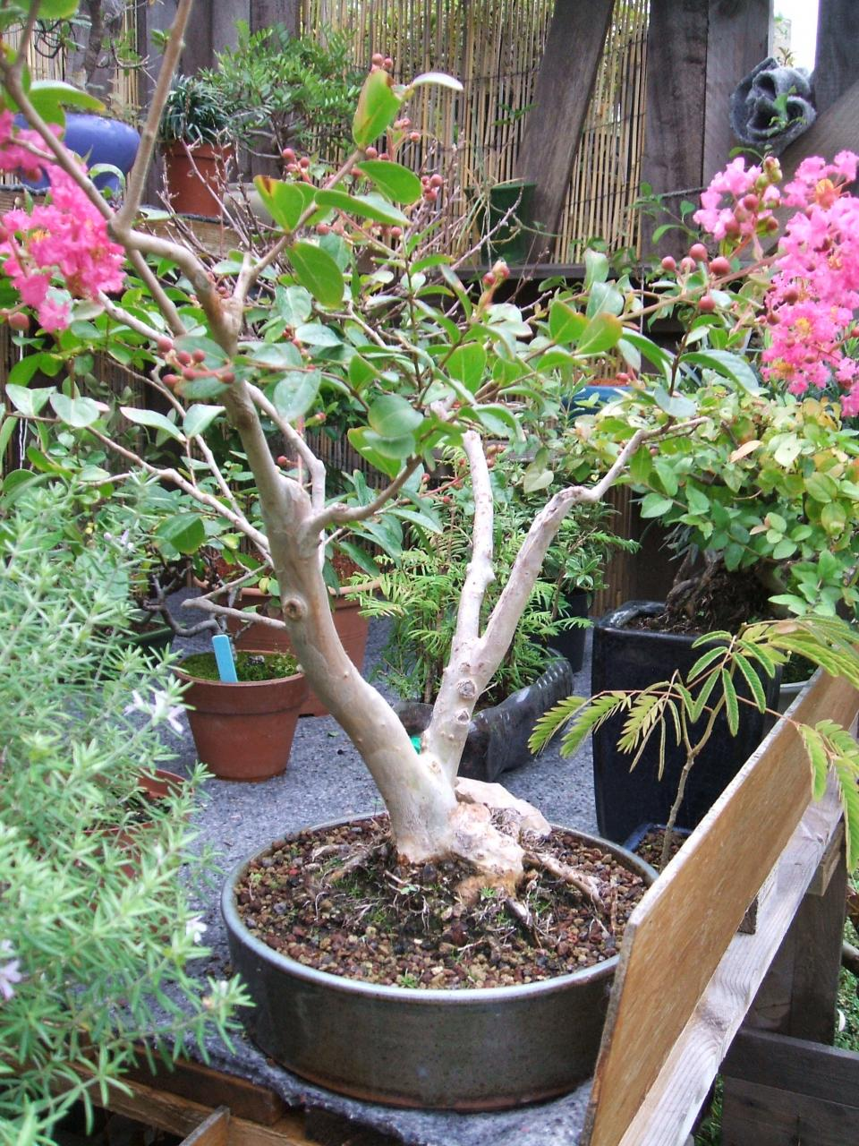 Comment bouturer un lilas - Comment faire un bonsai ...